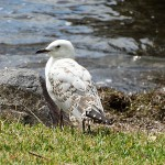 Lakes Day Ride_Arcadia Vale_Seagull