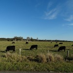 Boat Harbour Whale Day Ride_Nelson Bay Road_Cows