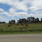 Inland Day Ride_Allandale Road_Cows
