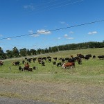 Stroud Day Ride_Paterson Road_Cows