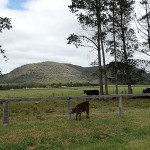 Inland Day Ride_Wollombi Street_Cows
