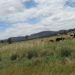 Inland Day Ride_Golden Highway_Cows