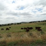 Inland Day Ride_Denman Road_Cows